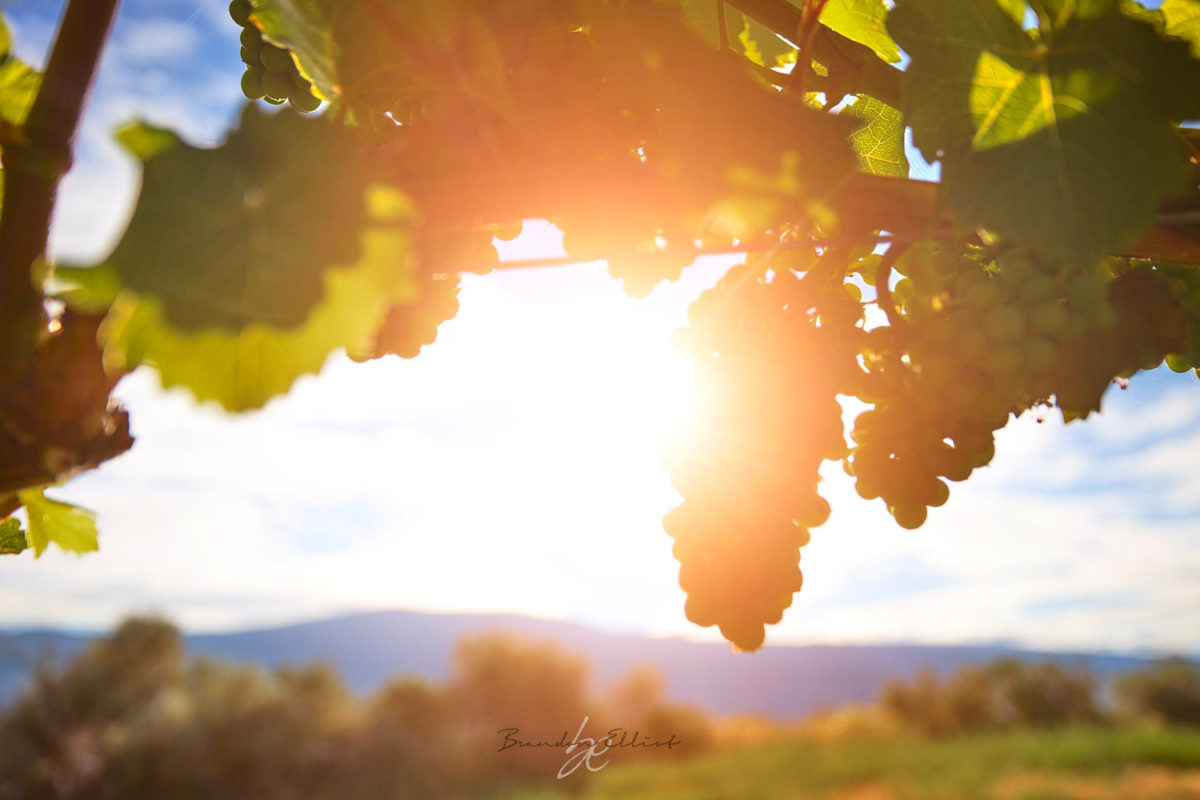 Sunrising over grapes at OAK Estate winery captured by Kelowna Photographer